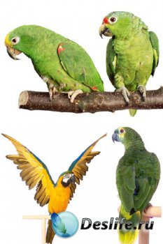 Птицы: Попугай (прозрачный фон)