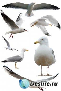 Птицы: Чайка (подборка изображений) прозрачный фон