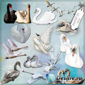 Клипарт - Лебеди