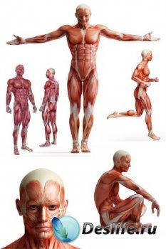 Анатомия человека: Мышцы, мышечная система (подборка изображений)