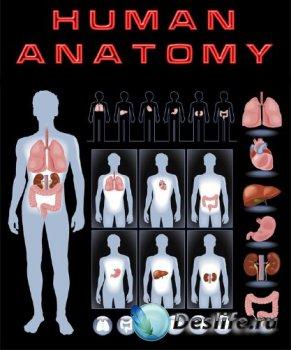 Анатомия человека (подборка векторных отрисовок)
