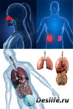 Анатомия человека: Внутренние органы (пдобрка изображений)