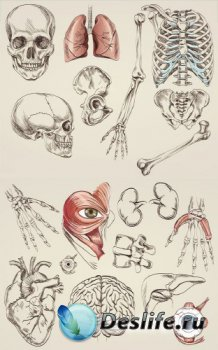 Анатомия человека (подборка векторных отрисовок) часть вторая
