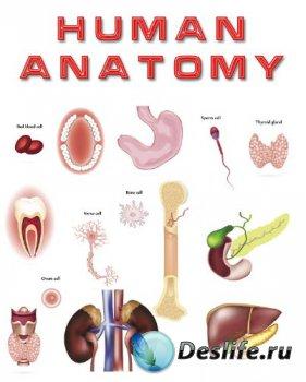 Анатомия человека (подборка векторных отрисовок) часть третья