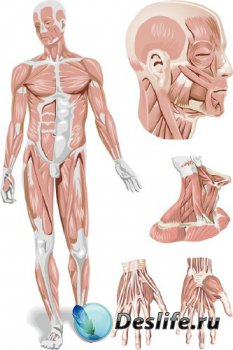 Анатомия человека (мышечная система) подборка векторных отрисовок