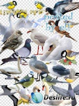 Синицы, воробьи , лебеди, голуби, чайки - клипарт PNG